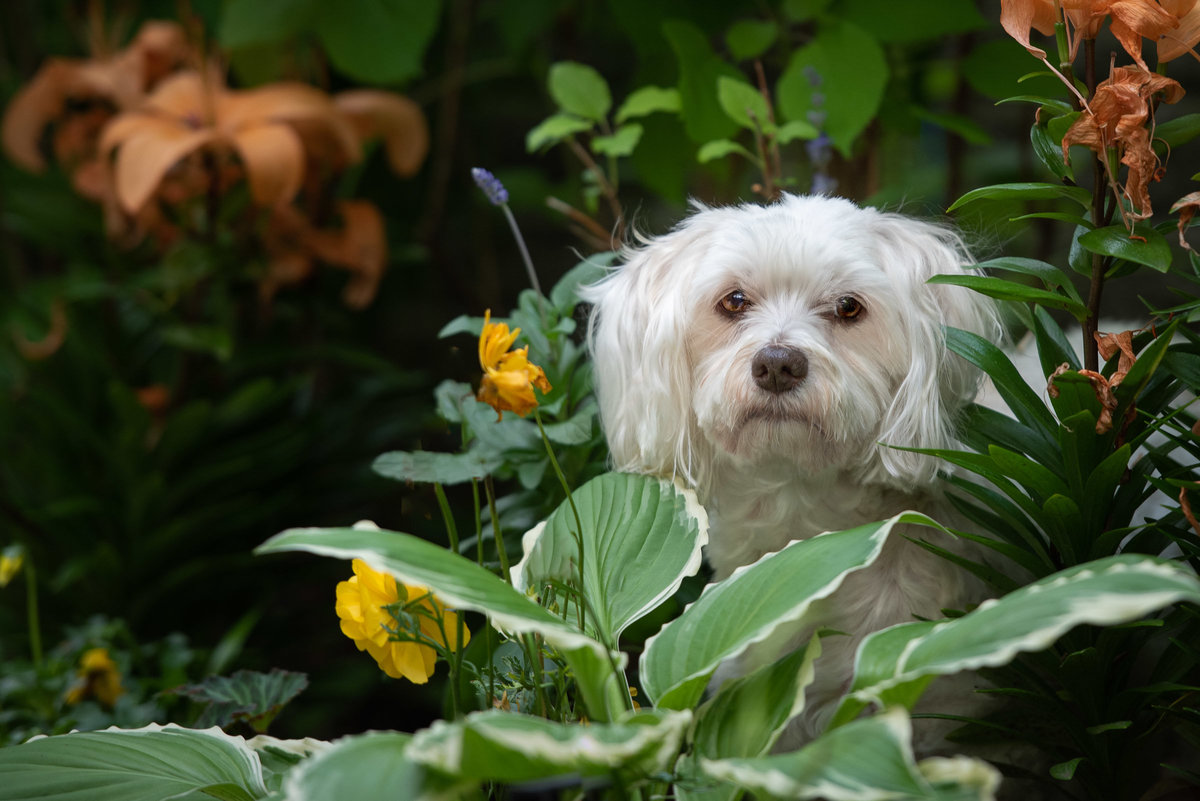Shy Maltese dog peering from foliage