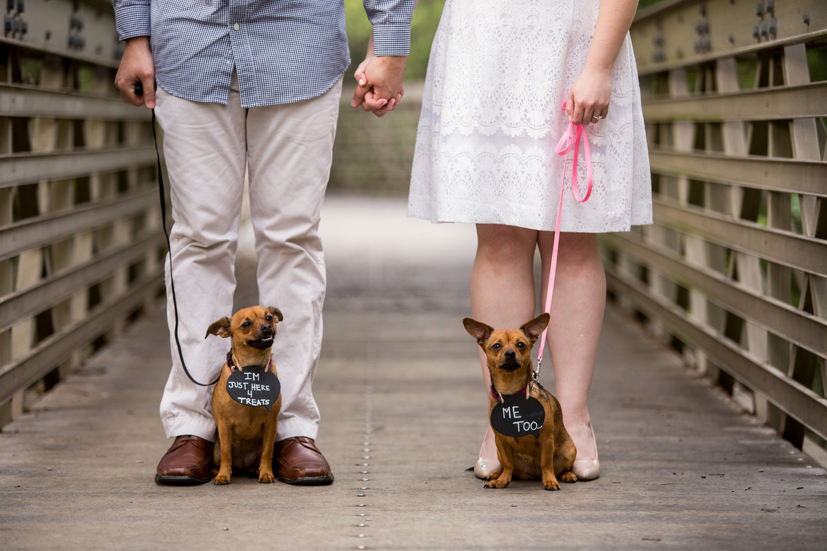 Two dogs wearing wedding signs being held by leashes by their engaged owners. A practice run before the wedding day.