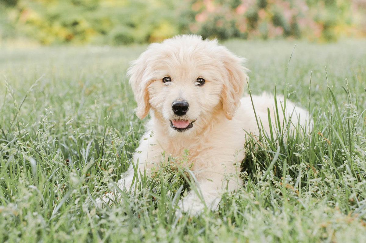 Mini Goldendoodle puppy lying in the grass