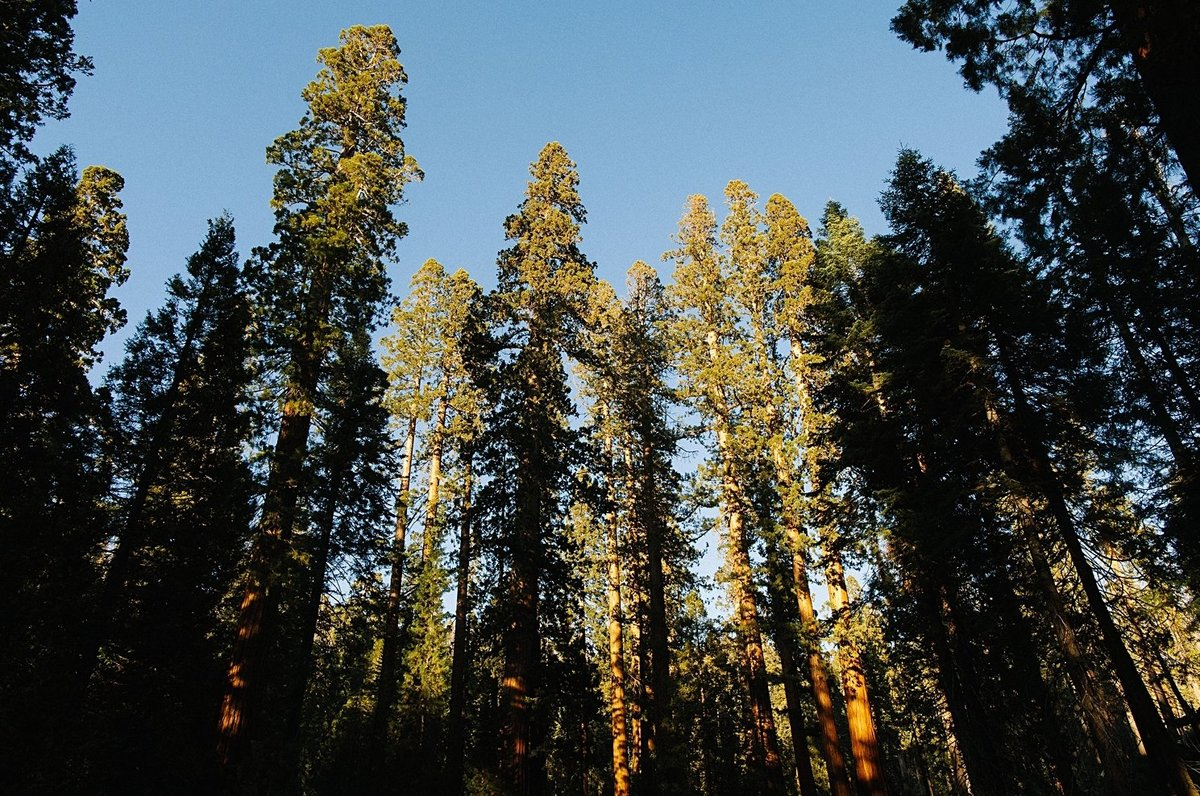 pine forest yosemite national park