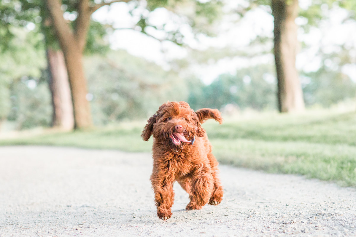 Australian Labradoodle running with tongue sticking out
