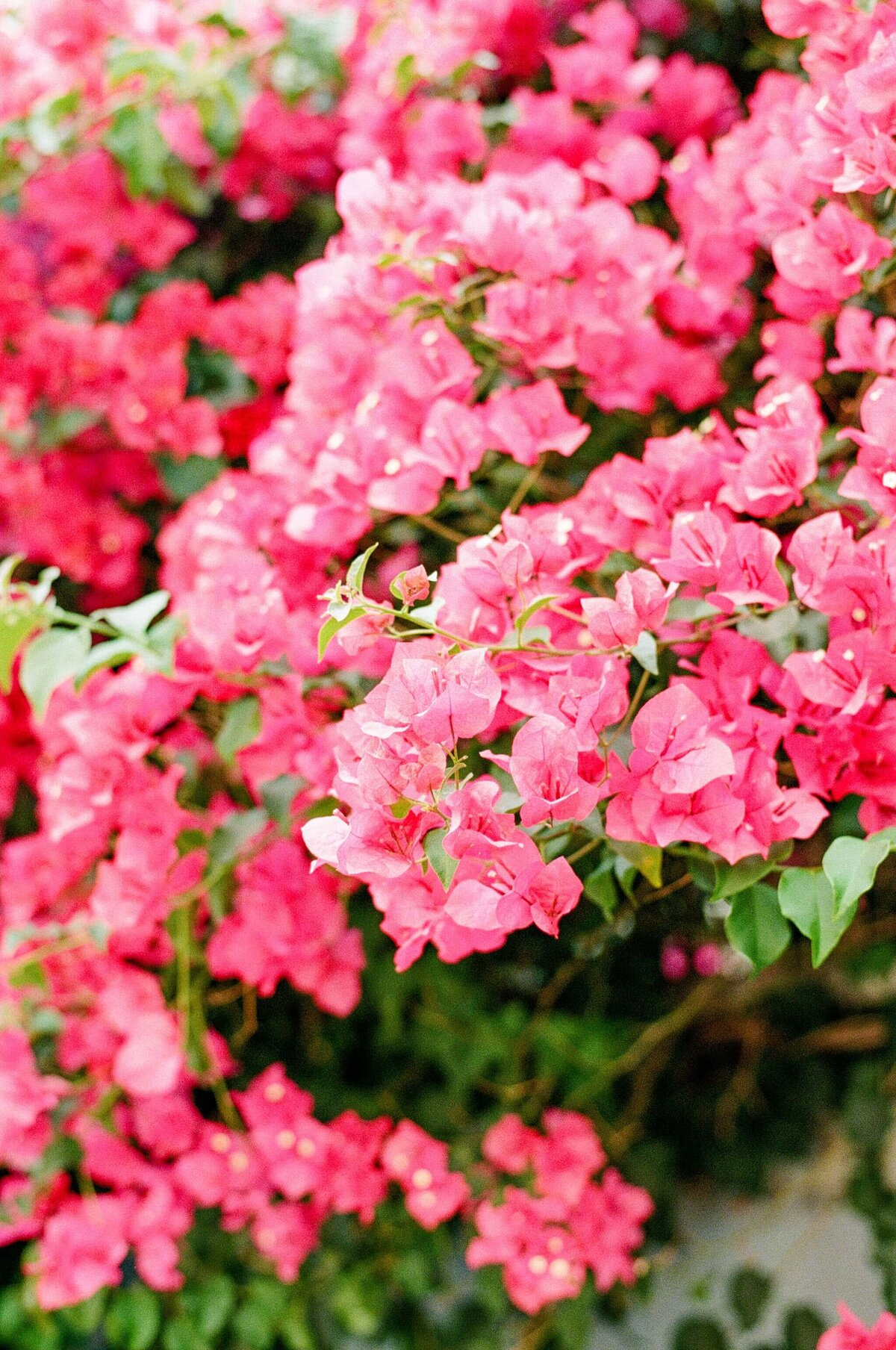 Mission District Bougainvellia by Marissa Wu