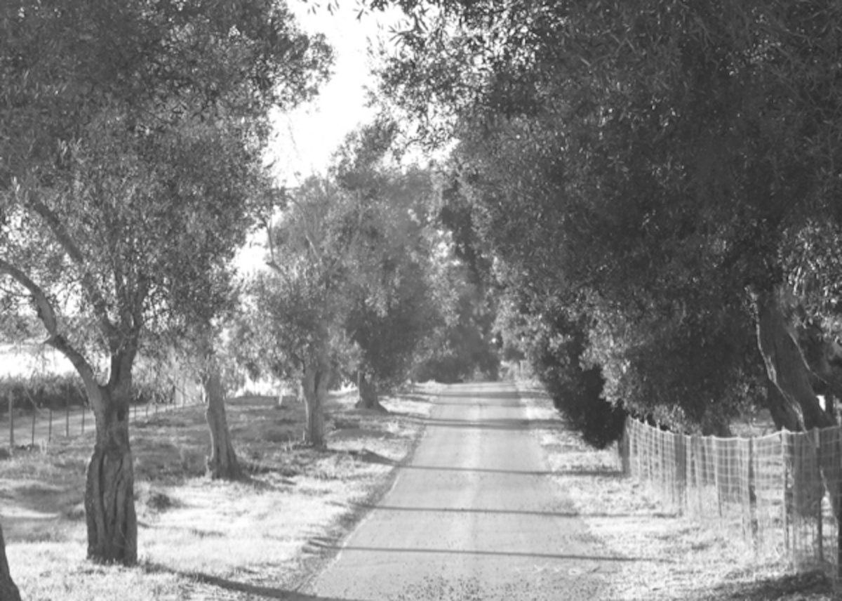 Black and white image of country road with old olive trees on either side