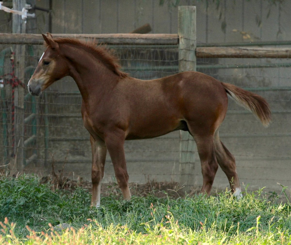Connemara x Thoroughbred foal Sired by R Blue Moon