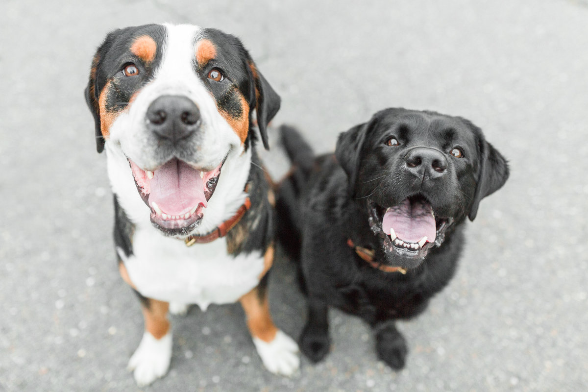 Black lab and Greater Swiss Mountain Dog sitting together