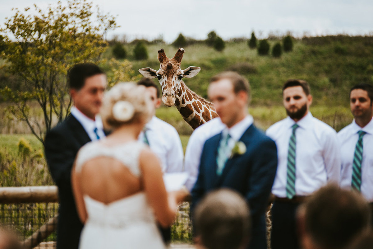 Wedding couple being photobombed by a giraffe at the Columbus Zoo in Columbus Ohio