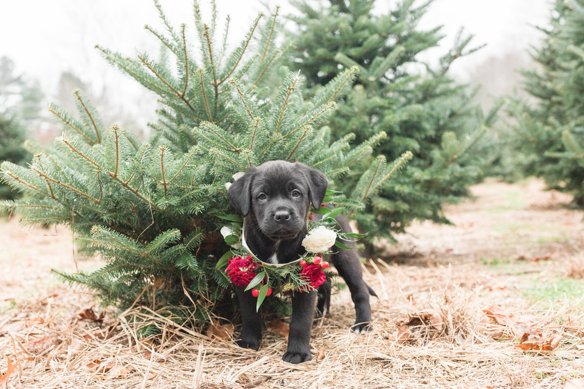 Black Lab wearing a flower collar standing in a Christmas Tree Farm