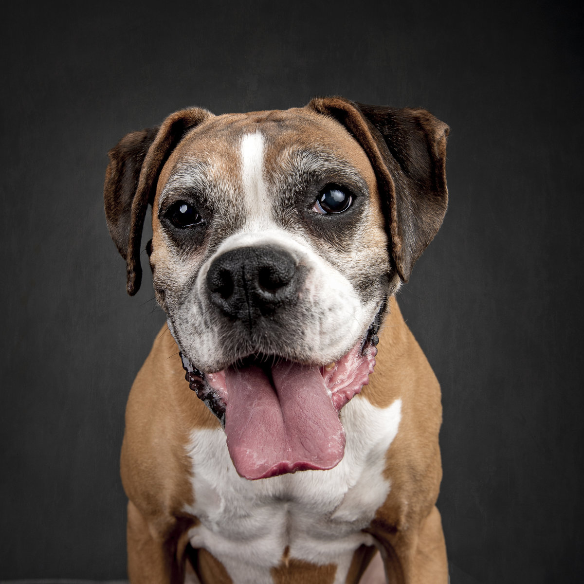 Goofy Boxer dog head and shoulders with tongue out
