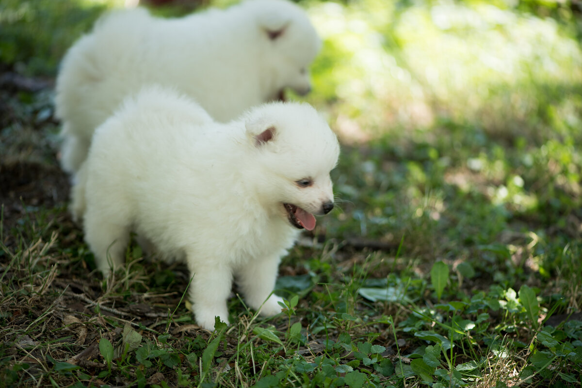 two puppies playing in grass | volpino italiano