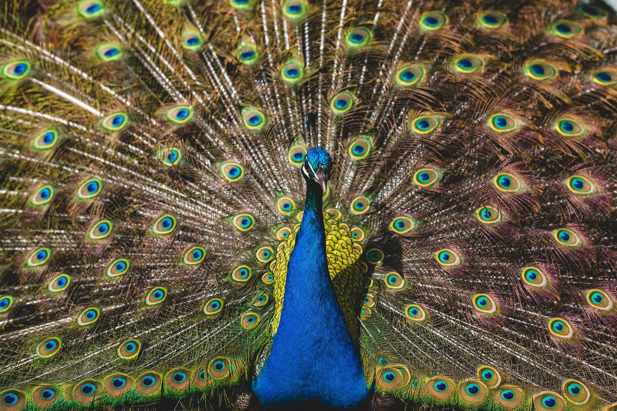 closeup of peacock feathers