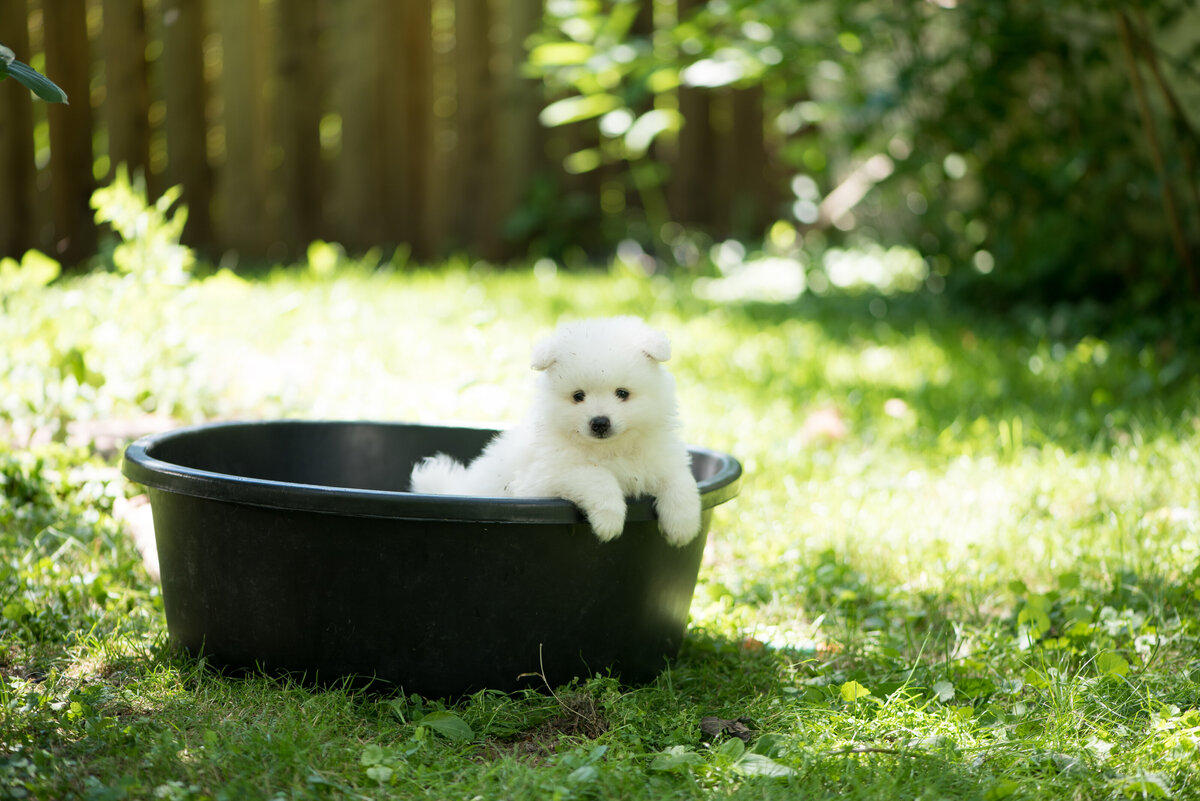 volpino italiano puppy playing in bucket. Super cute peeking out.