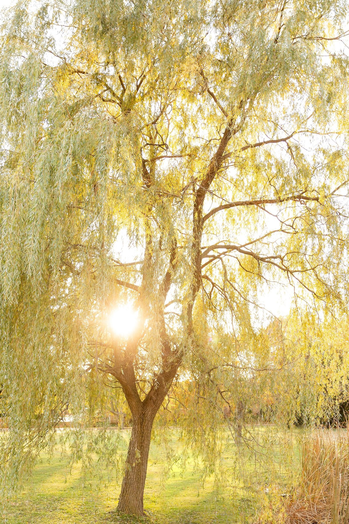 Willow-tree-with-the-sunset-streaming-through-at-arva-park-in-London-Ontario