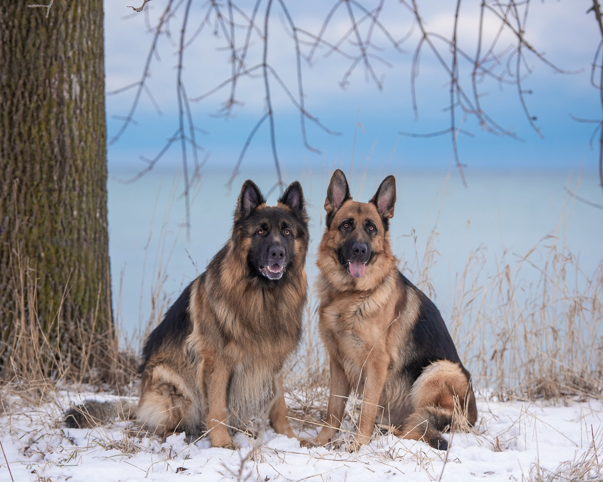 Two German Shepherd dogs posing in winter in front of Lake Ontario with snow