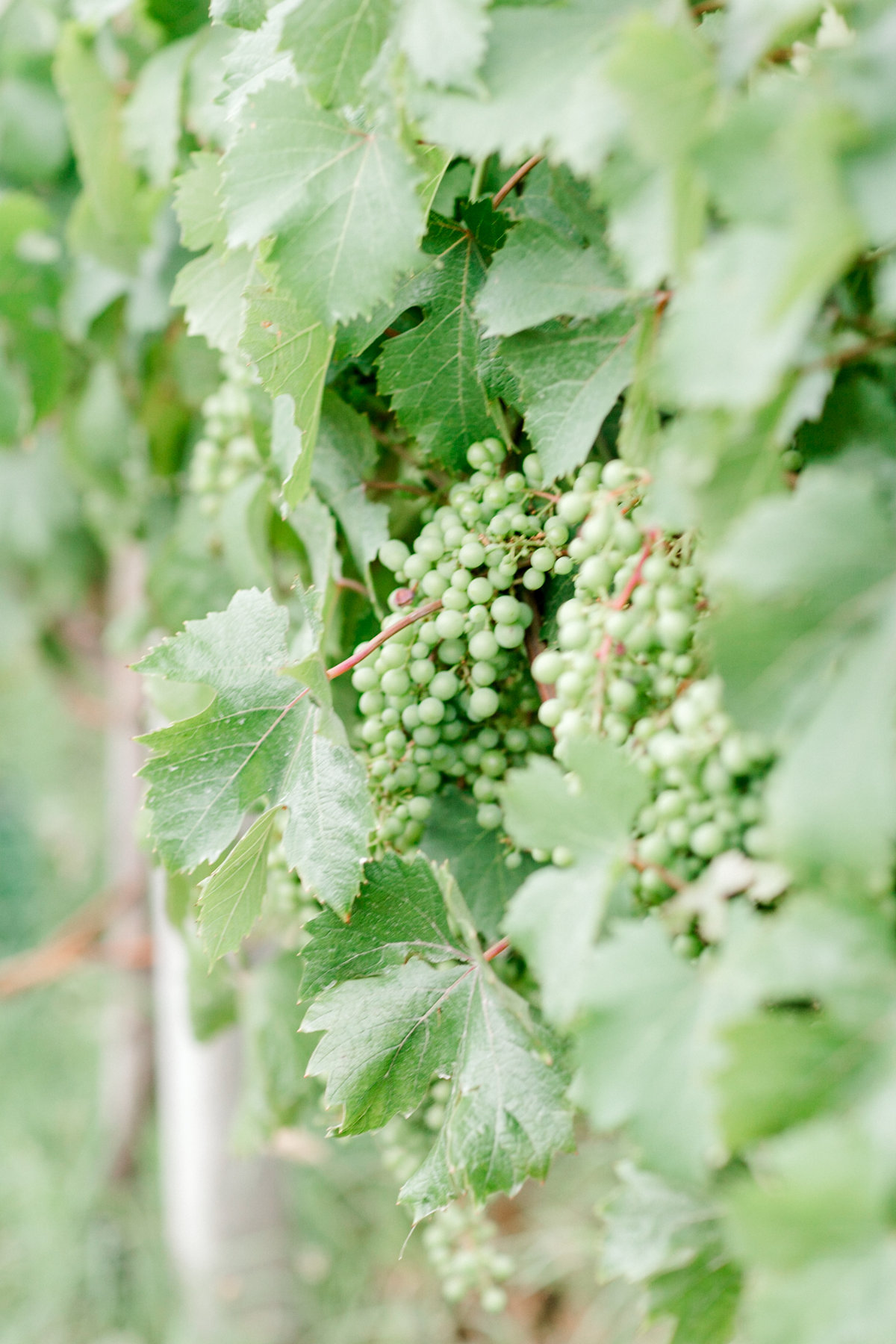 Destination-Vineyard-Italian-Wedding-New-York-Photographer-Jessica-Haley-Photo-51