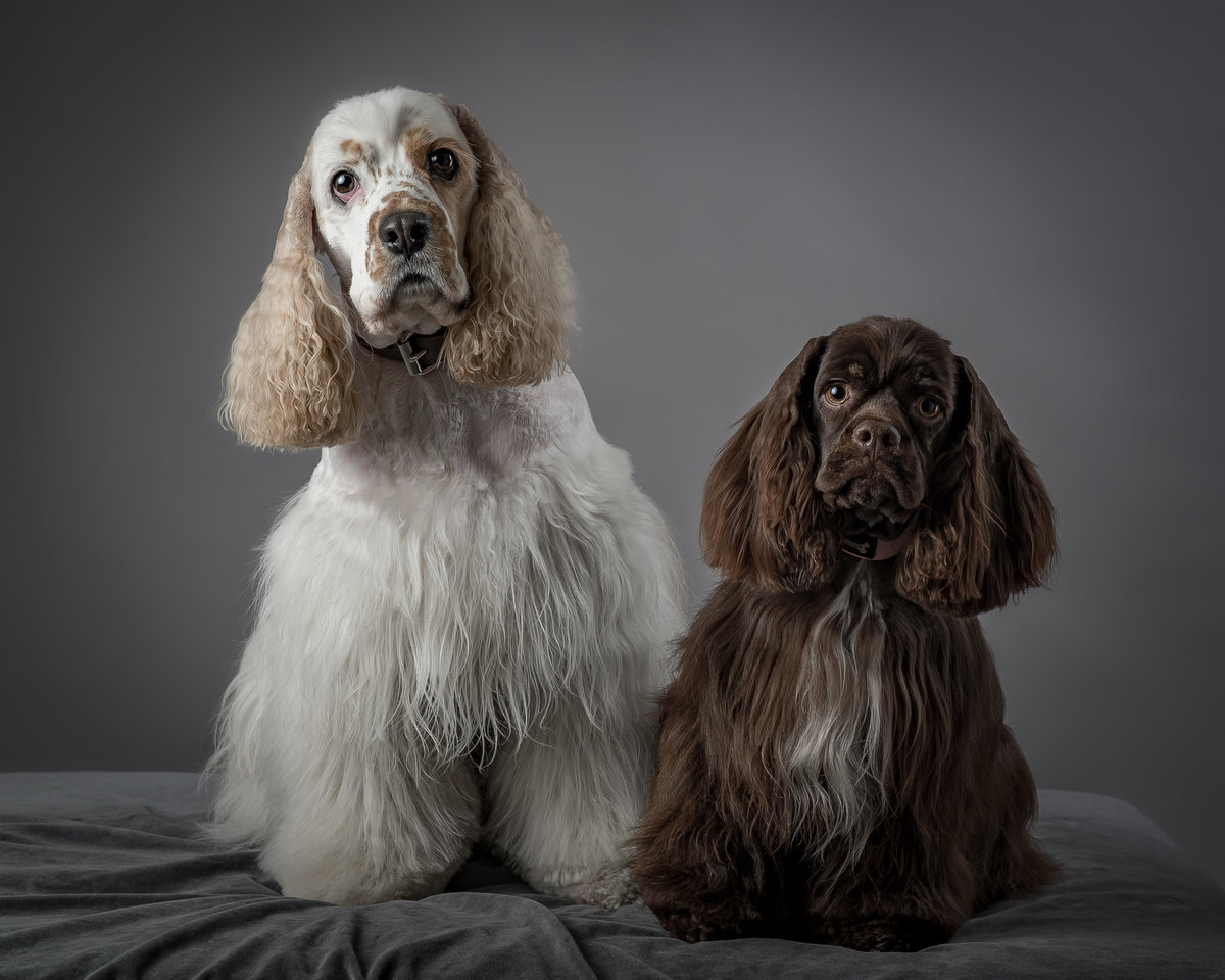 A tall white cocker spaniel and a short brown cocker spaniel  on grey background
