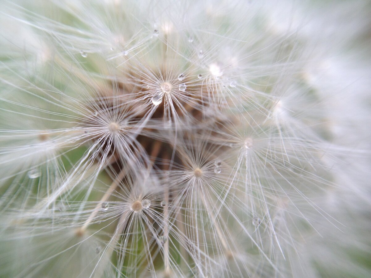 nature-outdoors-flower-plant-water-close-up-white-dew-dandelion-macro-petals-flora-bloom-strands_t20_4LgxkR