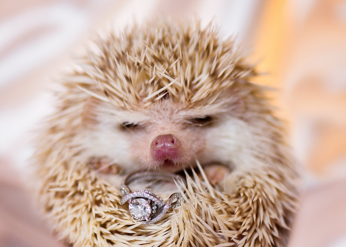 exadius hedgehog holding diamond ring texas hill country camp lucy
