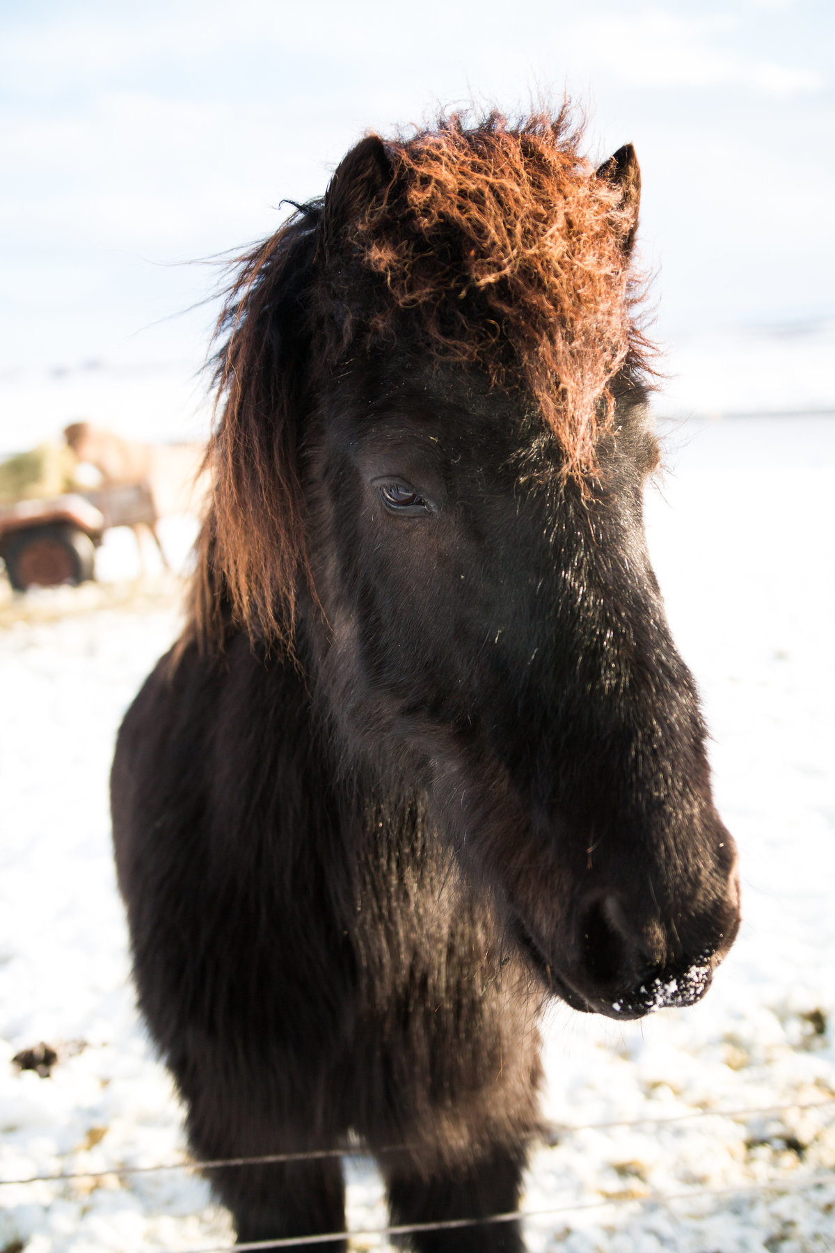Mini pony in Iceland