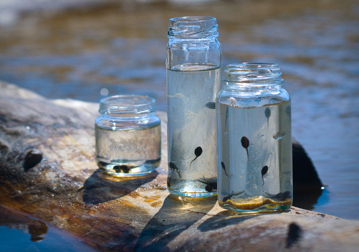 tadpoles_in_glass_jar - Copy