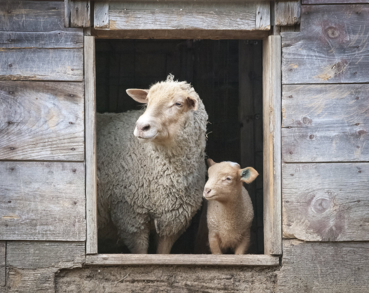 sheep shutterstock_311794010