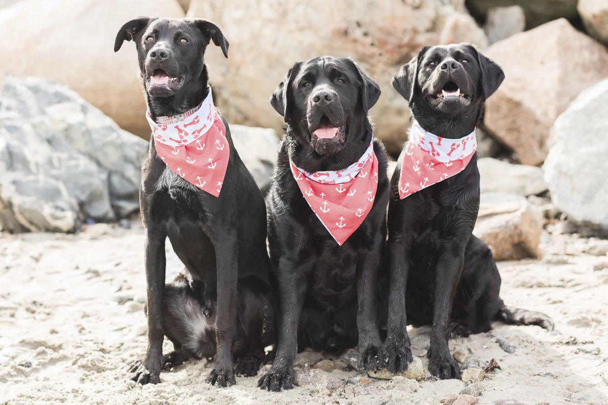Three Black Labs wearing nautical scarves