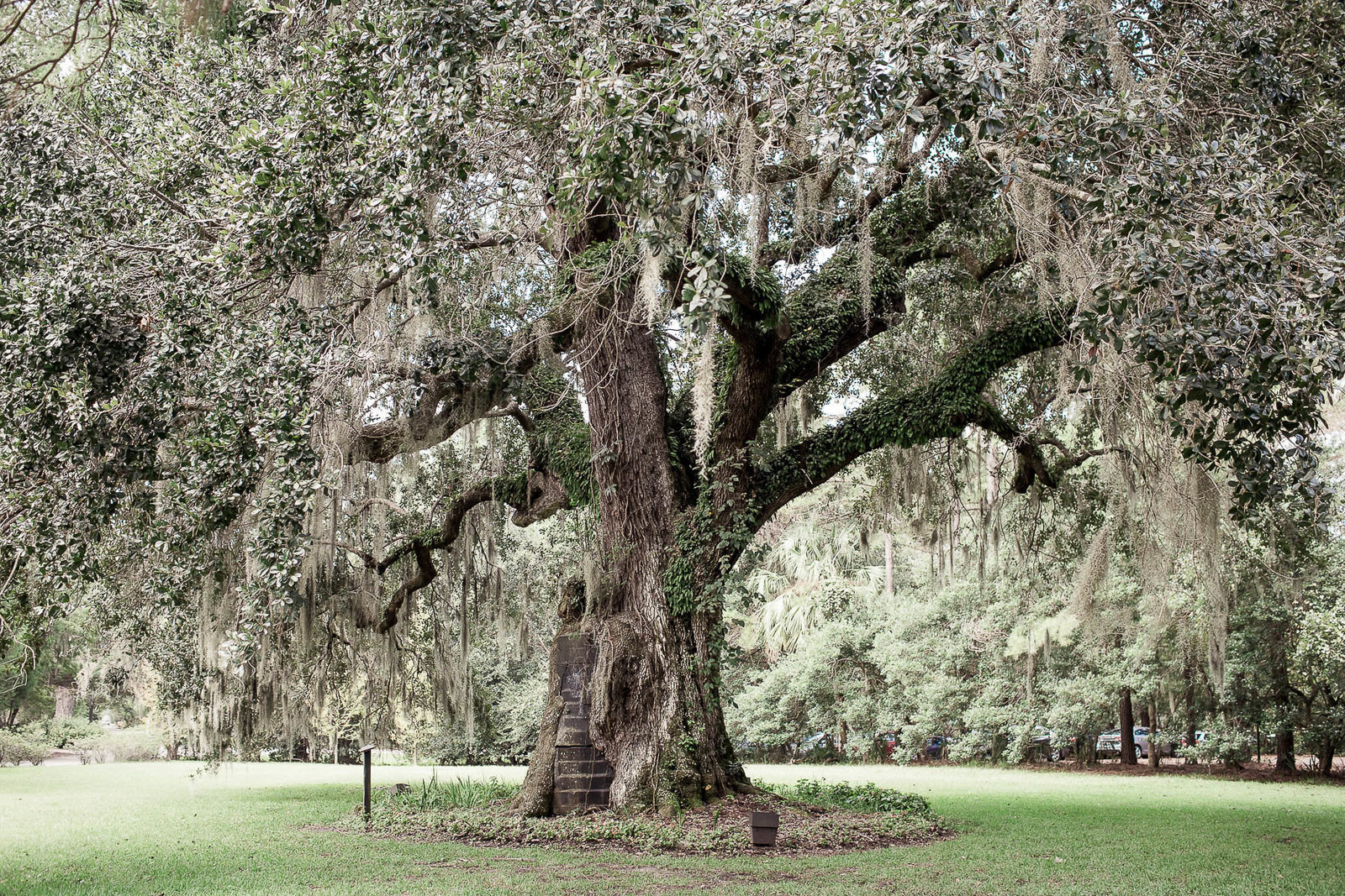 oak tree and spanish moss, Magnolia Plantation, Charleston, SC