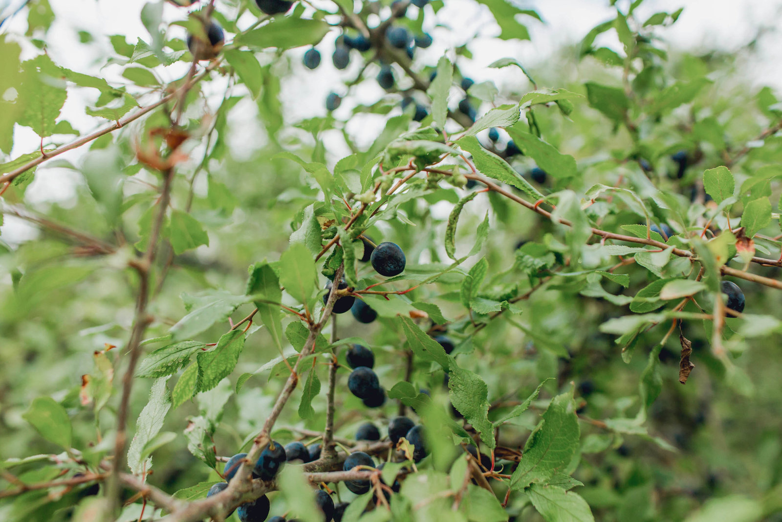 plant-berries-marie-antoinette-hamlet-versailles-france-travel-destination-kate-timbers-photography-1719
