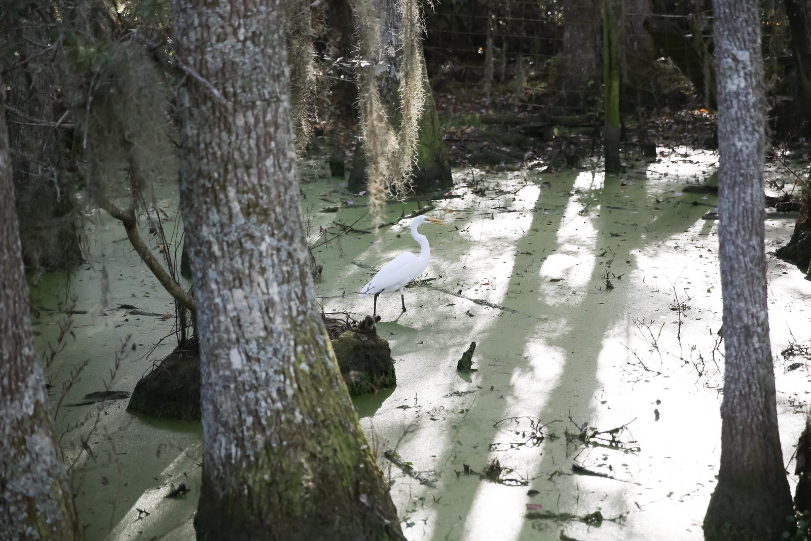 white-egret-bird-magnolia-plantation-charleston-sc-kate-timbers-wedding-photography-1443