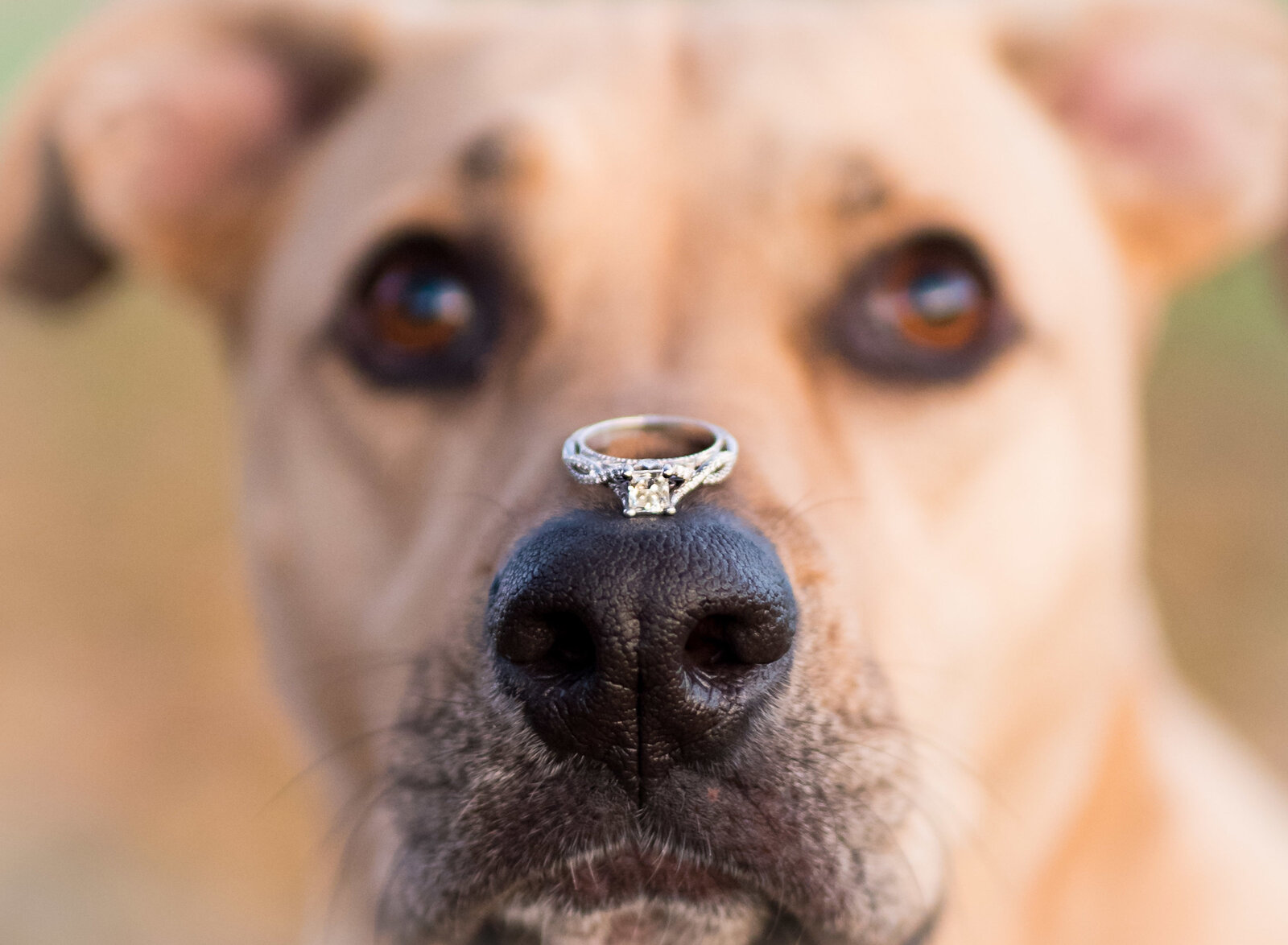 engagement-wedding-dog-ring-st-charles