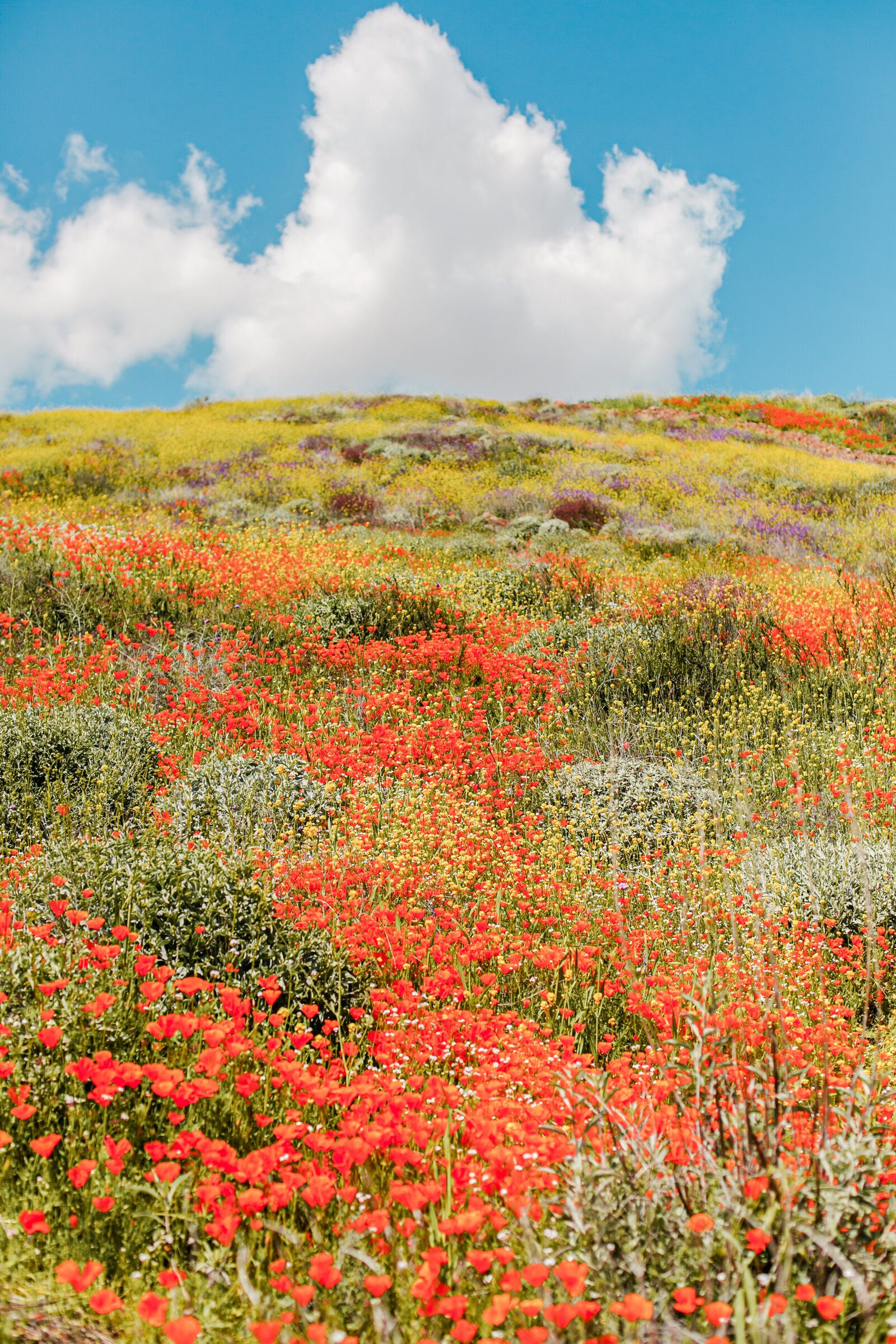 053-KBP-superbloom-Poppy-Fields-002