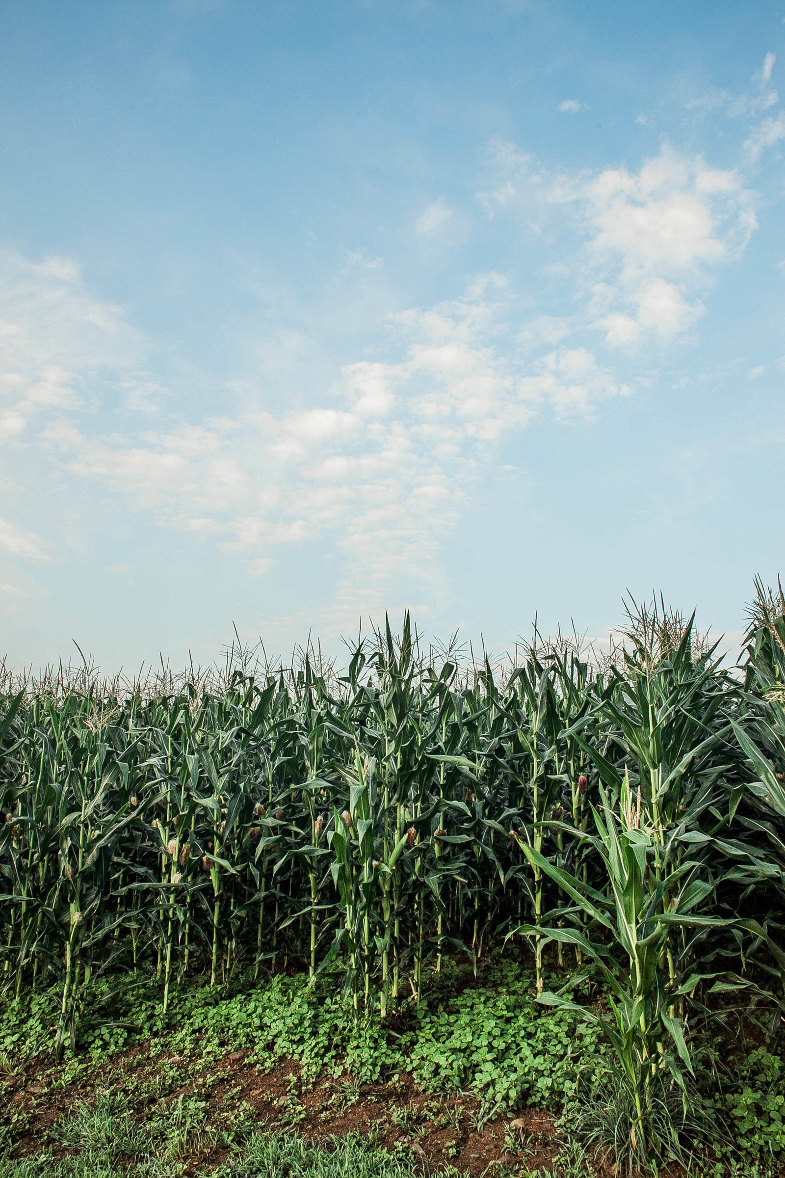 corn-pennsylvania-countryside-kate-timbers-photography-1139