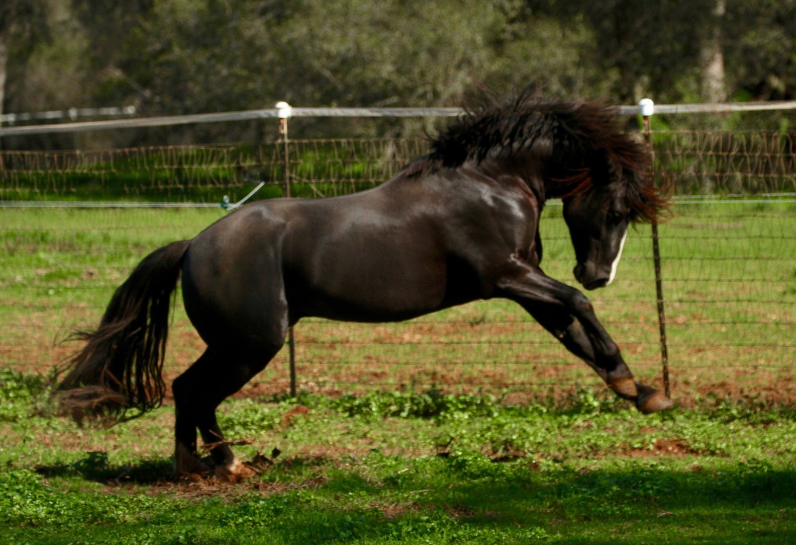 Gorgeous Black Connemara Pony-the best!