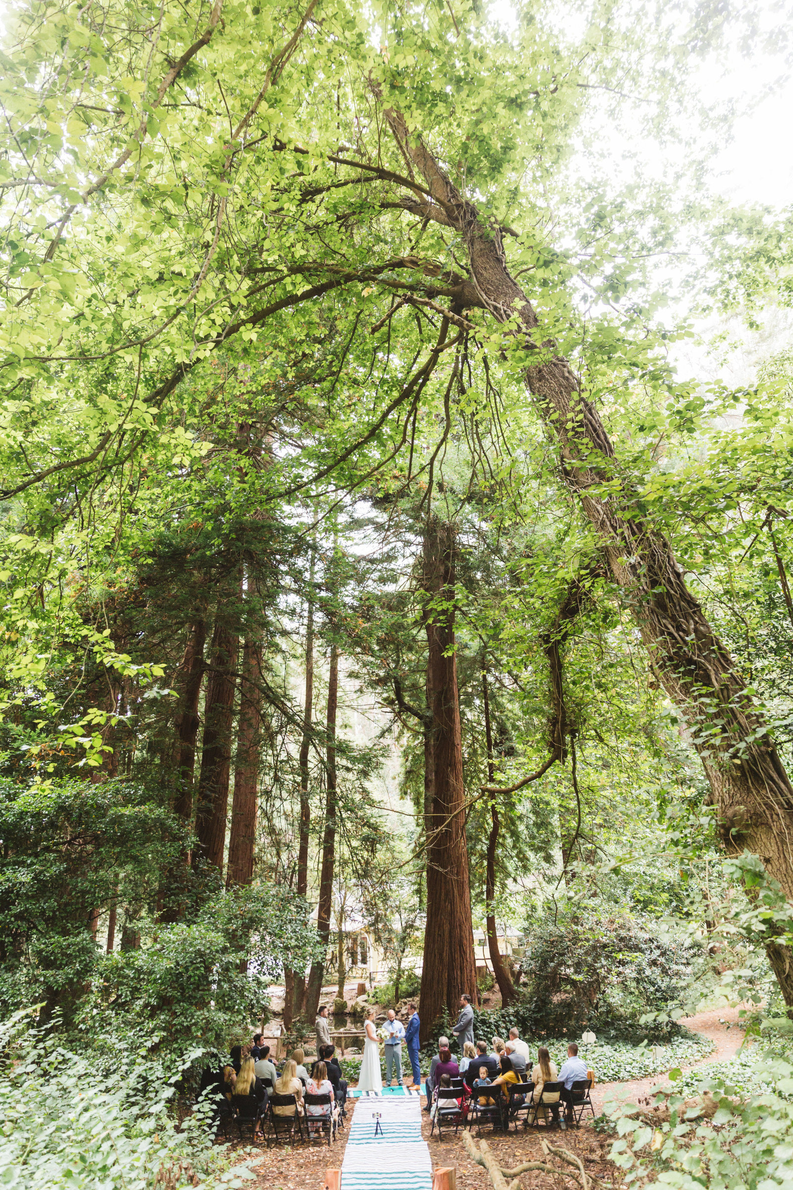 very wide shot showing epic redwood trees at stern grove wedding