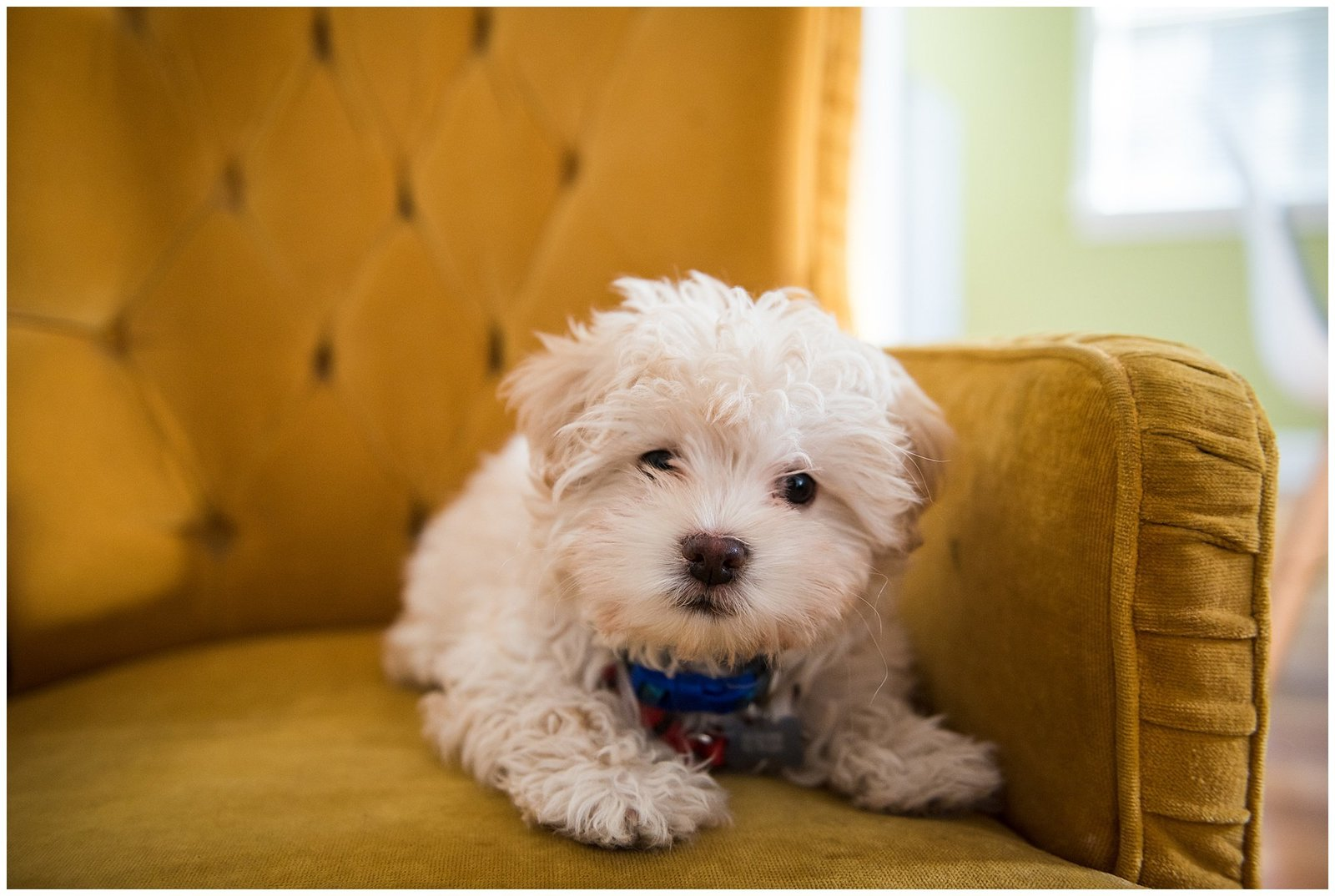 Puppy Labradoodle white on gold yellow velvet chair portrait Emily Ann Photography Pet Photographer Seattle