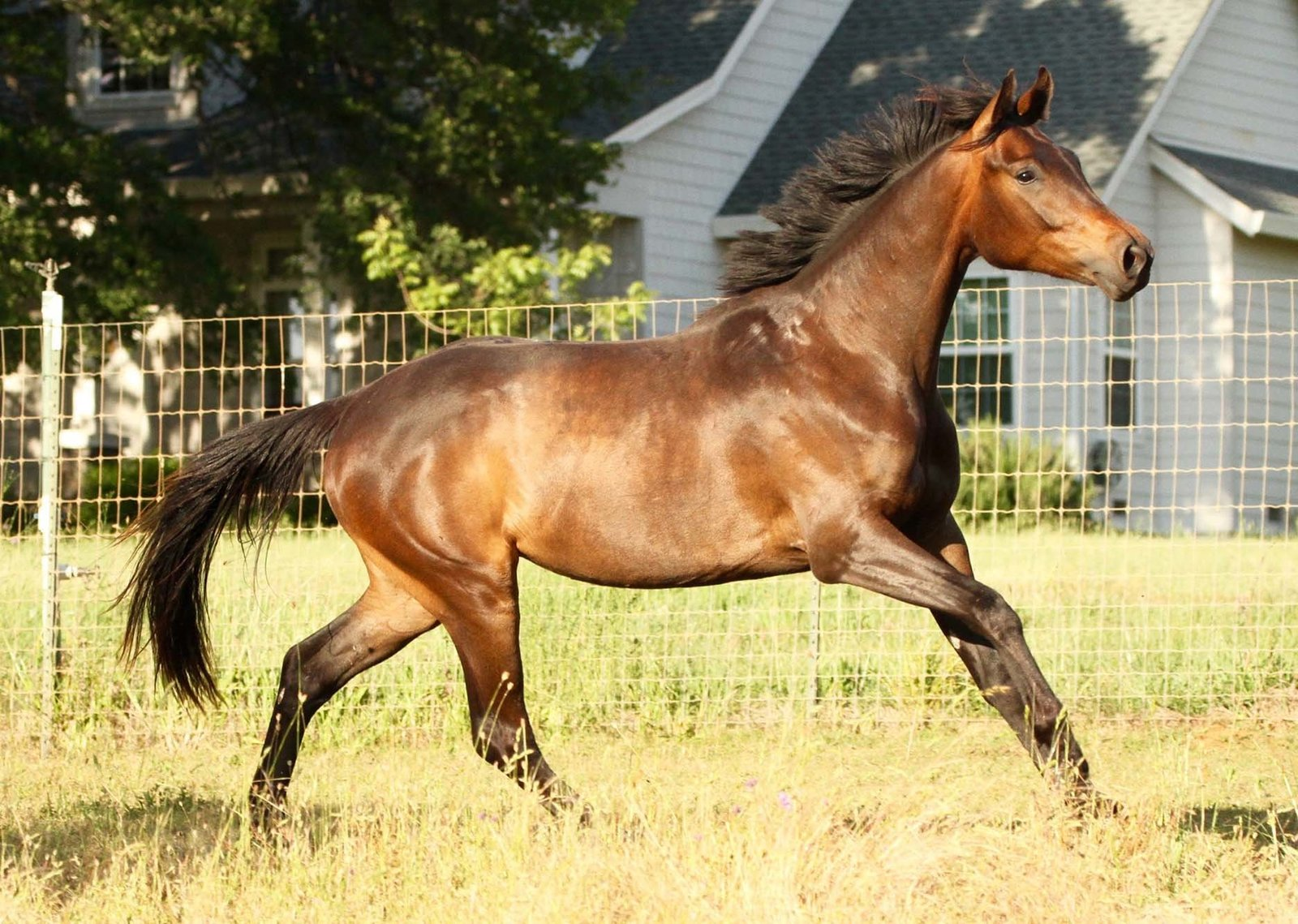 Bay, 3yo Hanoverian For sale.