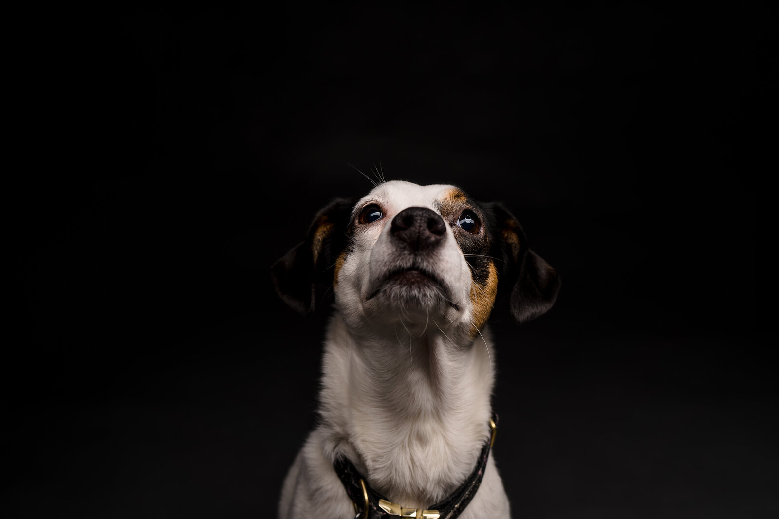 a black and white Jack Russell Mix looks adorable for a portrait on a black backdrop