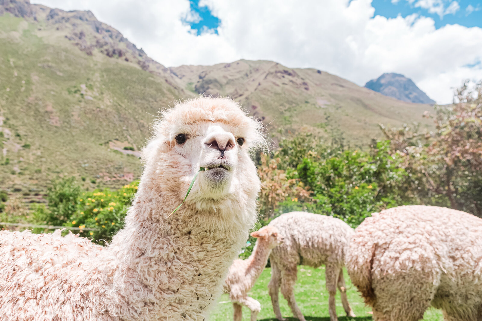 047-KBP-Peru-Cusco-Sacred-Valley-Llamas-006