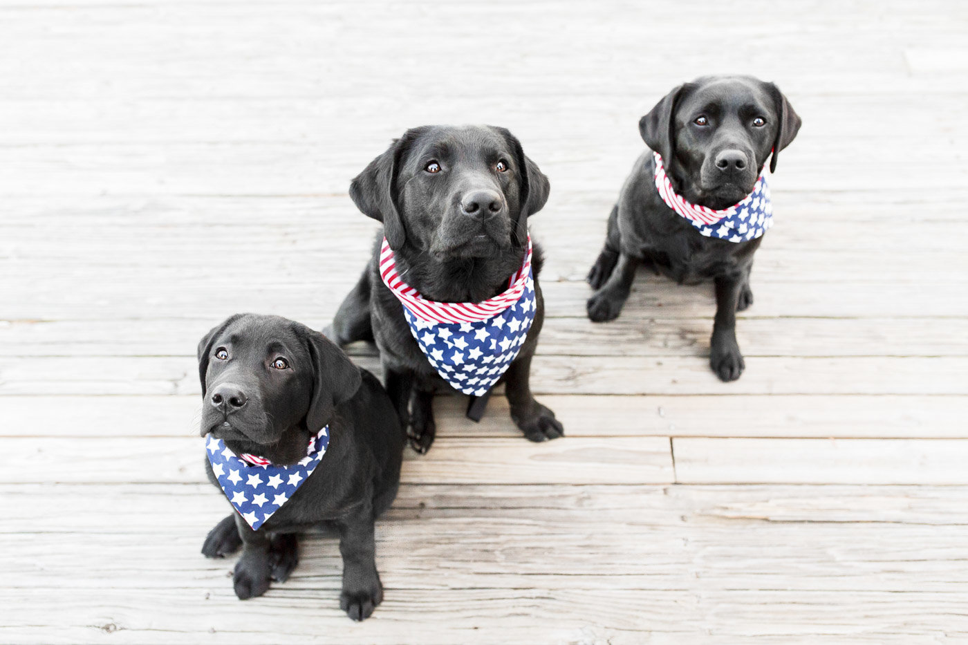 Dogs wearing red, white, and blue bandanas