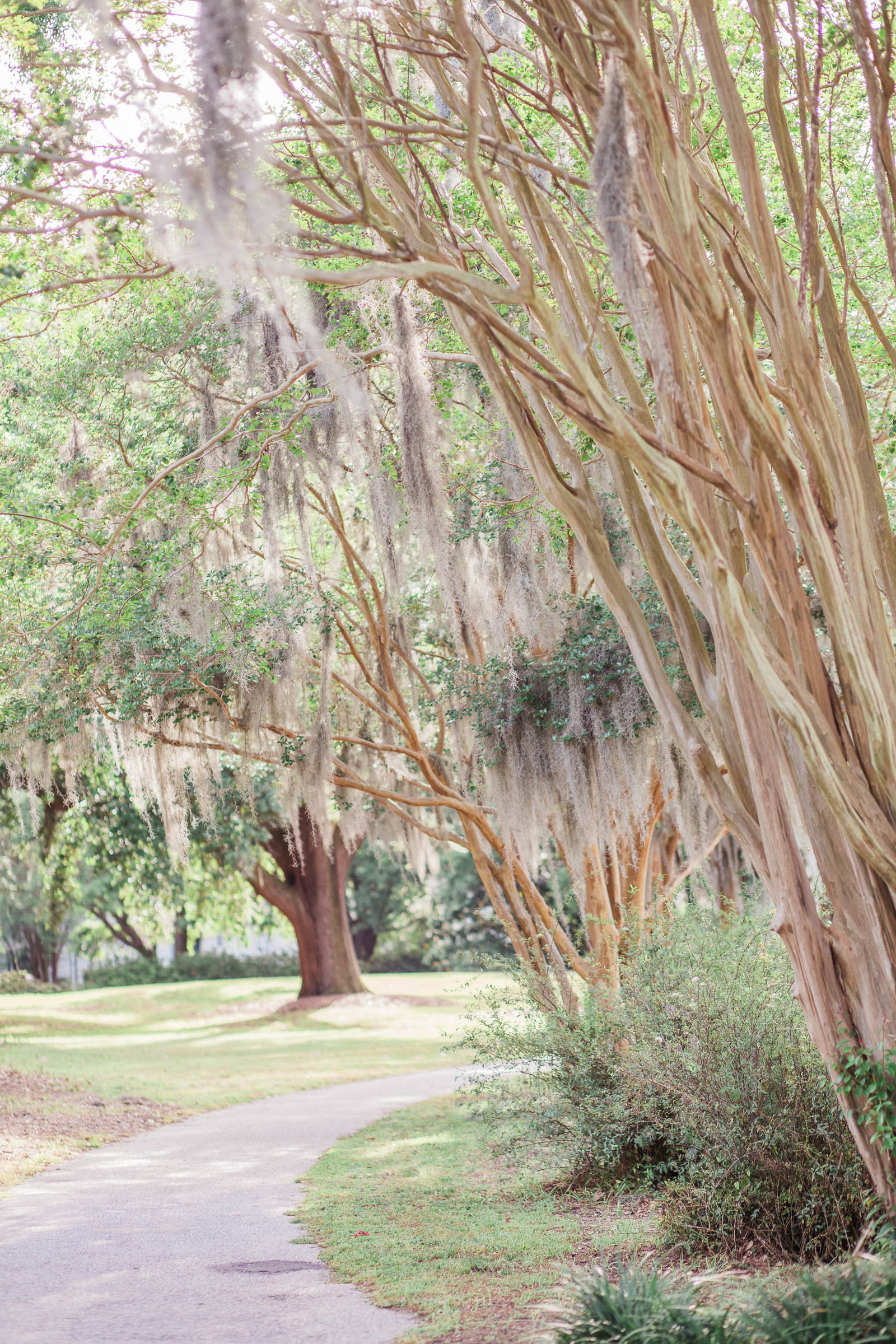 Spanish moss hangs from tree, Hampton Park, Charleston, South Carolina