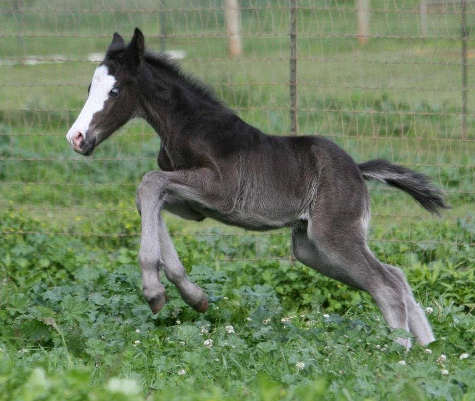 Exceptional Quality Connemara Pony Colt