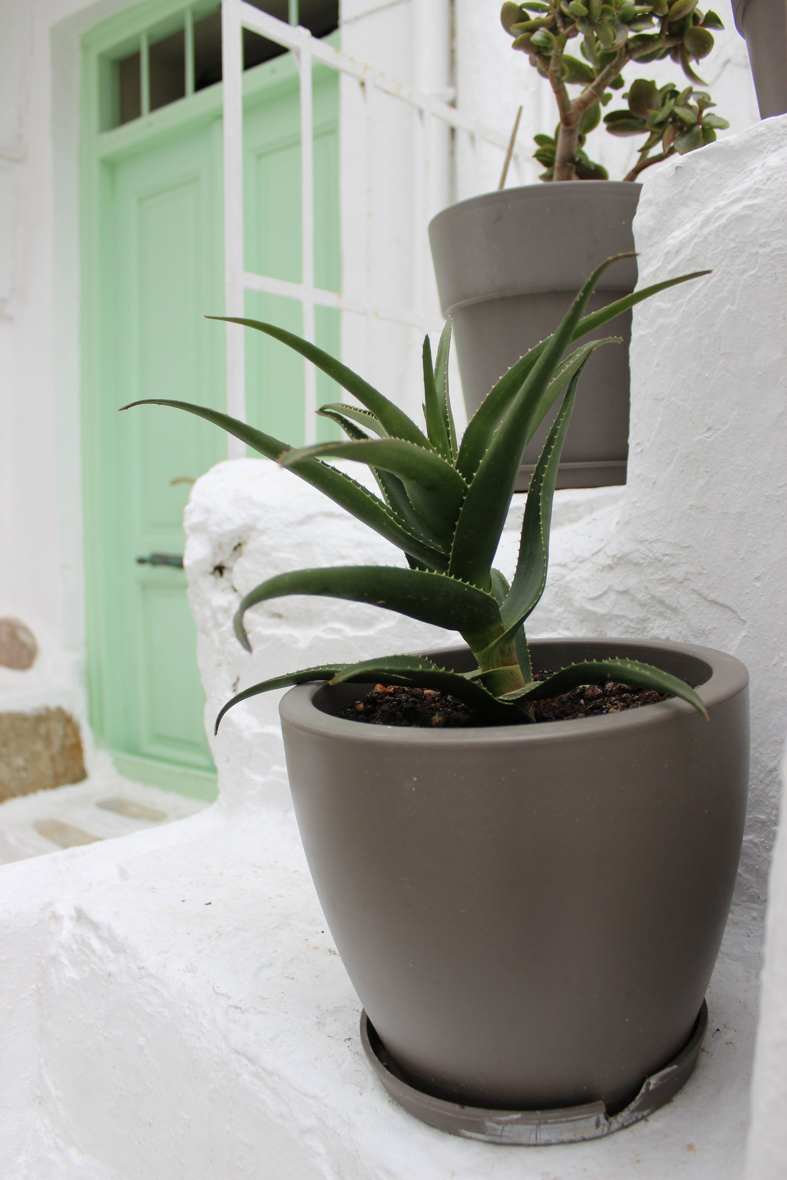 Succulent plant on a white step in Greece