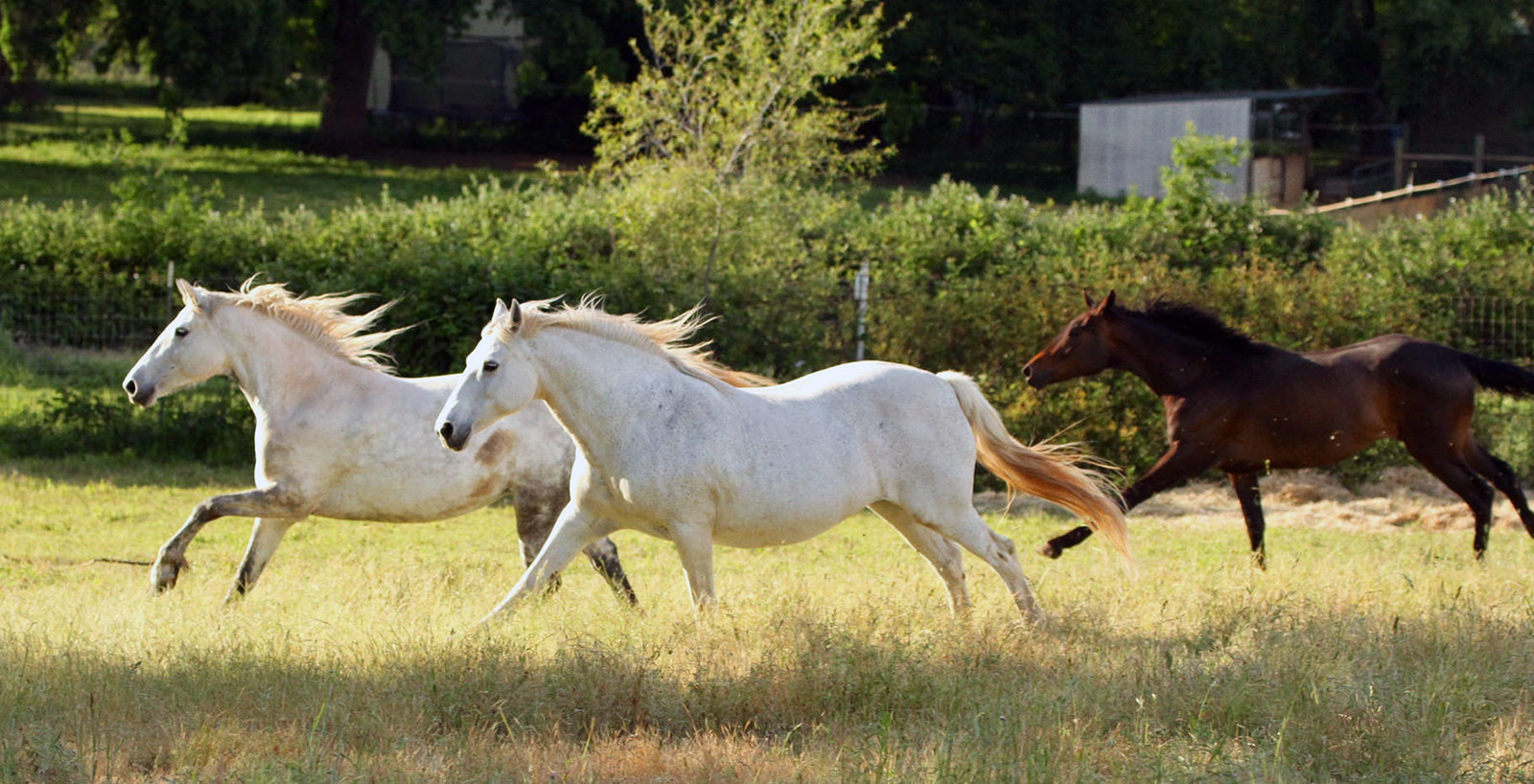 Connemara Pony Mares at Redbud Ranch