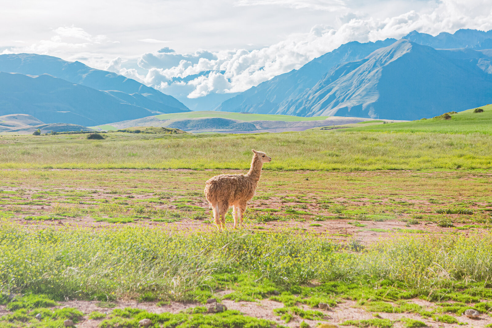 032-KBP-Peru-Cusco-Sacred-Valley-Llamas-002