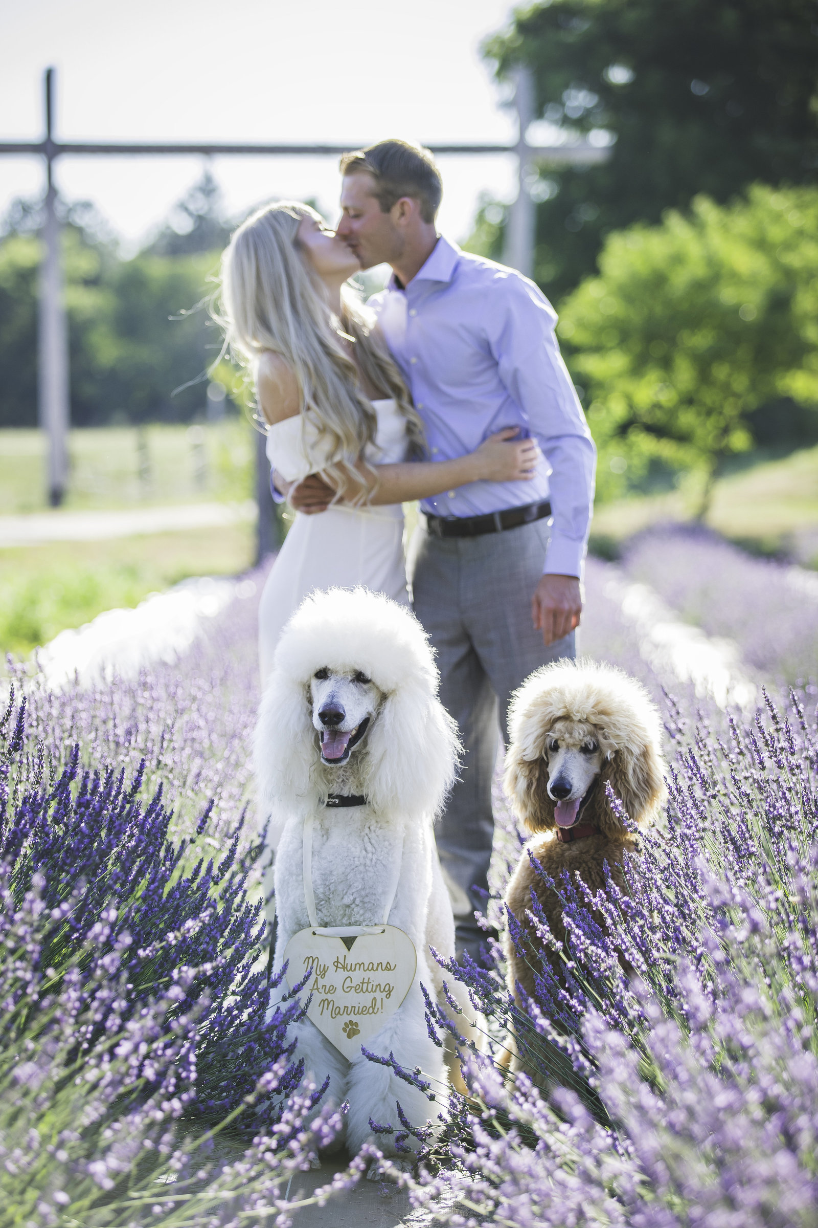 Engagement session taking place in Greenville MI at Lavender Vista with their two poodle pups