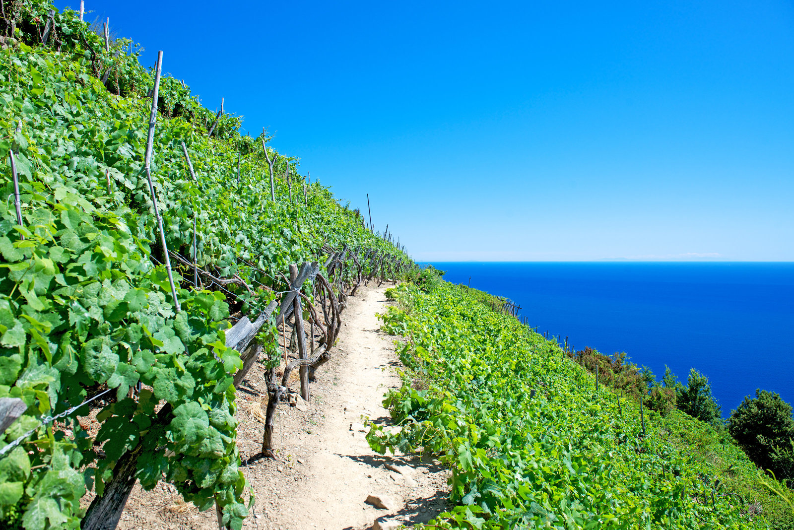 Vineyard on the Sea