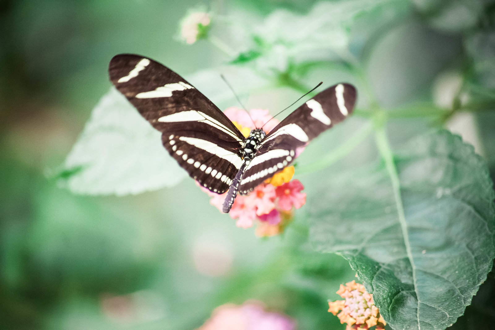 zebra-longwing-butterfly-travel-aruba-kate-timbers-photography-857