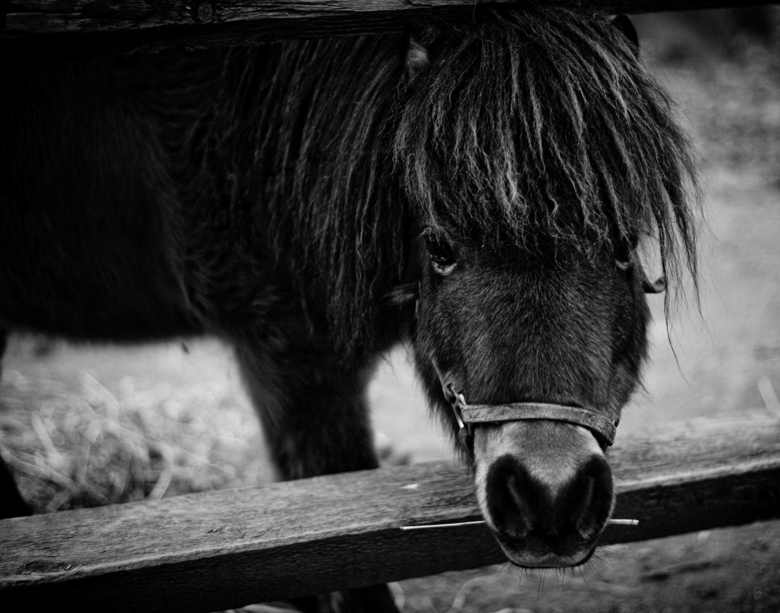 miniature-horse-pennsylvania-countryside-kate-timbers-photography-1129