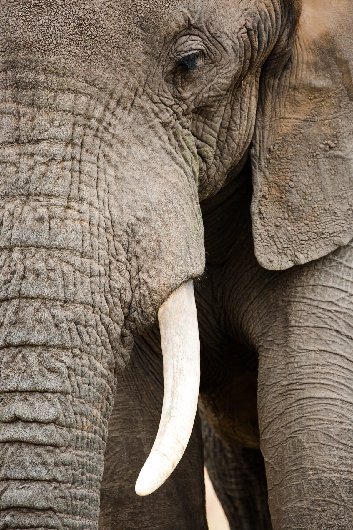 elephant-tusk-tanzania-photographer