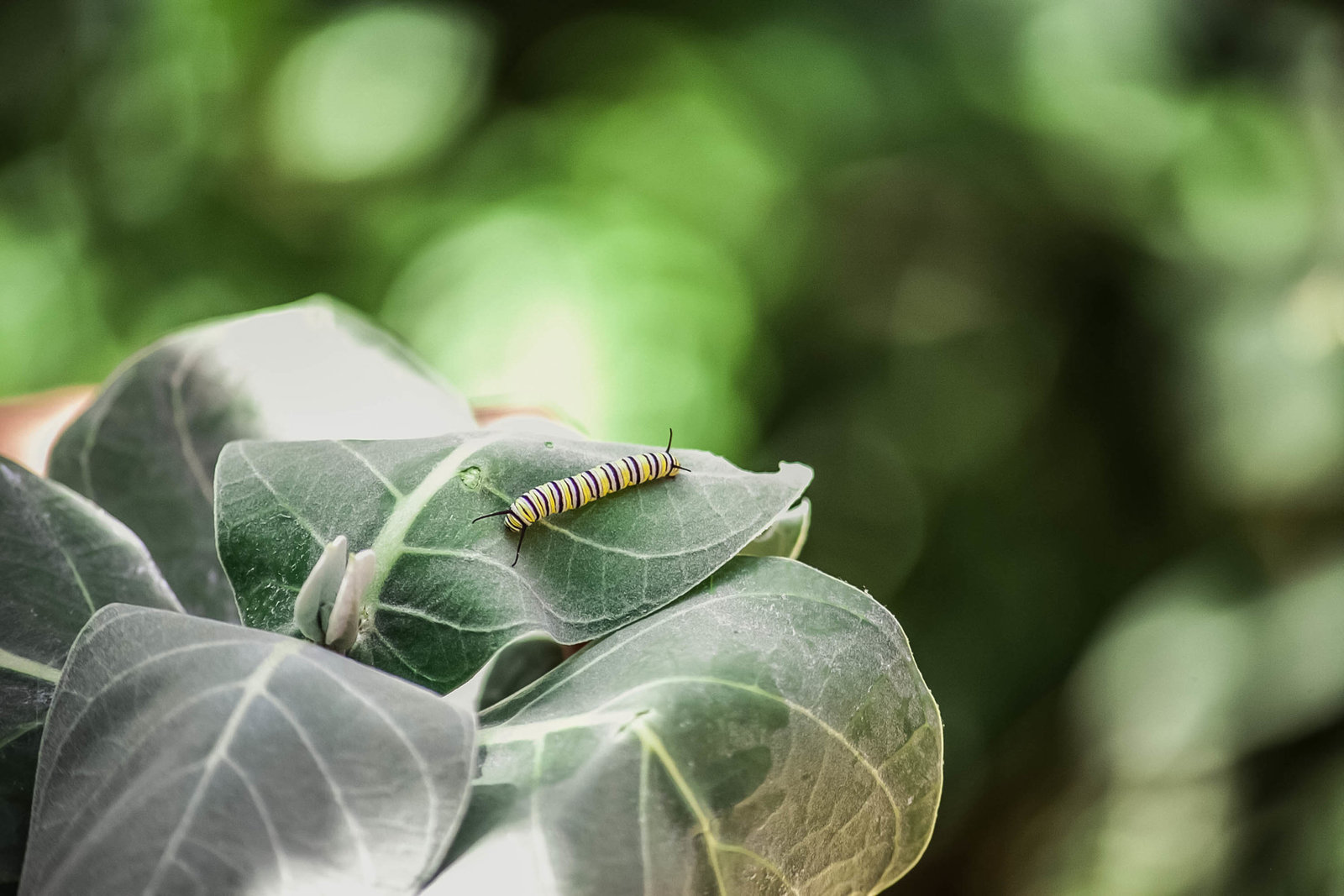 monarch-caterpillar-travel-aruba-kate-timbers-photography-845