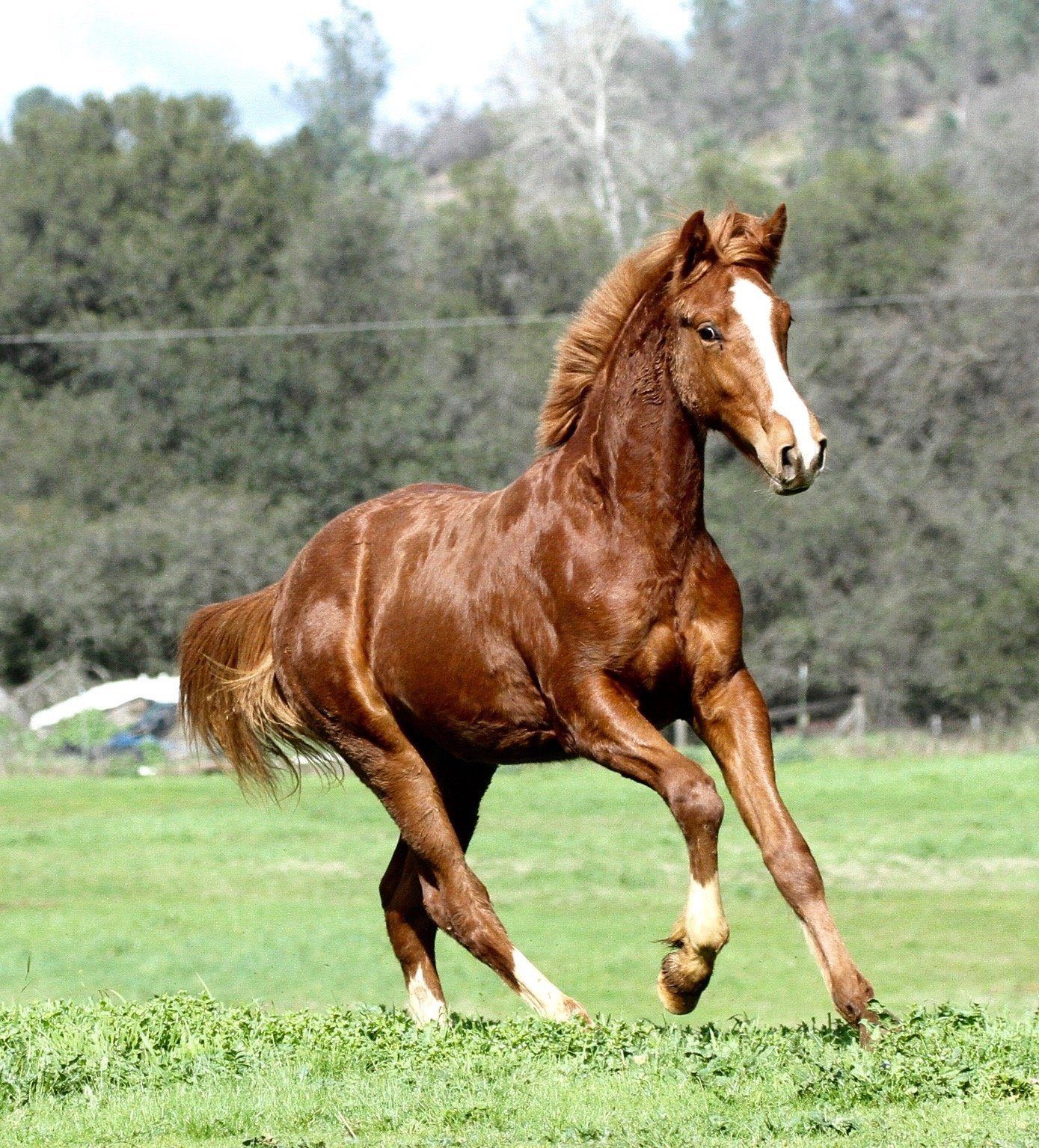 Connemara Colt By R Blue Moon